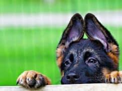 Что делать, если собака порвала ухо