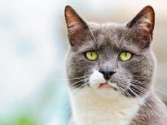 Девертикул пищевода у кошки