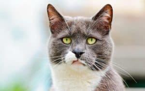 Дивертикул пищевода у кошки