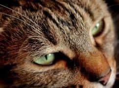 Малассезия у кошек