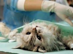 Шишка на животе у кошки
