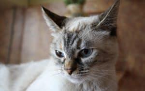 Гиперпаратиреоз у кошек